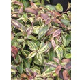 Traubenmyrthe Kugel FloraSelf Leucothoe fontanesiana 'Makijaz' H 30-40 cm Co 6 L