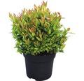 Traubenmyrthe FloraSelf Leucothoe fontanesiana 'Little Flames'® H 30-40 cm Co 6 L