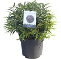 Traubenmyrthe Kugel FloraSelf Leucothoe keiskei 'Burning Love' H 30-40 cm Co 6 L
