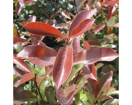 Glanzmispel FloraSelf Photinia fraseri 'Camilvy' H 50-60 cm Co 6 L