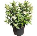 Rispenhortensie FloraSelf Hydrangea paniculata 'Magical Vesuvio' H 80-100 cm Co 10 L