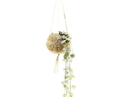 Kokodama-Ampel Set Leuchterblume FloraSelf H ca. 20 cm Ø 12 cm Topf