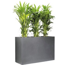 Pflanzen im Gefäß Raumteiler mit Howea-Palme/ Kentia gesamt H 140-160 cm B Pflanze ca. 40-60 cm Topf 70x110x 40 cm