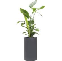 Pflanzen im Gefäß Strelitzie gesamt H 140-160 cm B Pflanze ca. 50-70 cm Ø Topf 40 cm