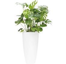 Pflanzen im Gefäß Monstera/ Fensterblatt gesamt H 130-150 cm B Pflanze ca. 80-90 cm Ø Topf 49 cm