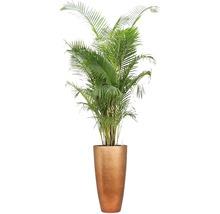Pflanzen im Gefäß Goldfruchtpalme gesamt H 200-220 cm B Pflanze ca. 100-120 cm Ø Topf 49 cm