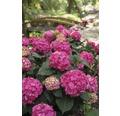Ballhortensie Endless Summer Hydrangea macrophylla 'Summer Love' H 30-35 cm Co 5 L rot