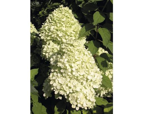 Rispenhortensie Hydrangea paniculata 'Magical Candle' ® H 100-125 cm Co 18 L