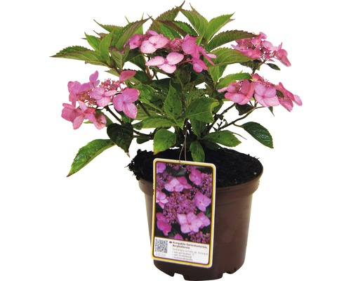Kompakte Gartenhortensie, Berghortensie Hydrangea serrata var. Koreana H 30-40 cm Co 5 L