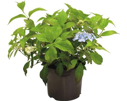Berghortensie Hydrangea serrata 'Blue Deckle' H 30-40 cm Co 5 L