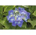 Blaue Tellerhortensie 'Blaumeise' Hydrangea macrophylla 'Blaumeise' H 30-40 cm Co 5 L