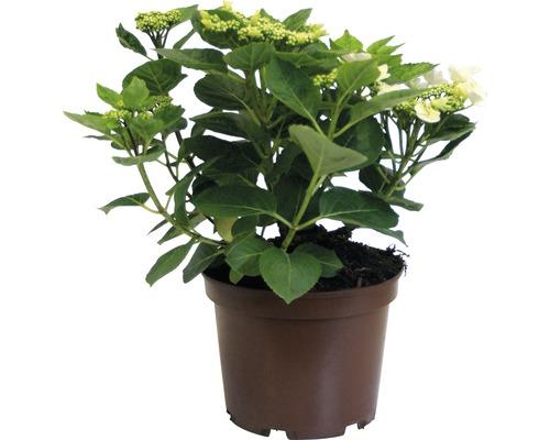 Weiße Tellerhortensie Hydrangea macrophylla 'Benxi' H 30-40 cm Co 5 L