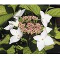 Berghortensie Hydrangea serrata 'Grayswood' H 30-40 cm Co 5 L