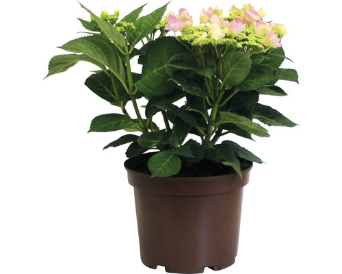 Rosa Tellerhortensie Hydrangea macrophylla 'Frisbee Pink' H 30-40 cm Co 5 L