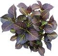 Rote Tellerhortensie mit dunkelrotgrünem Laub Hydrangea macrophylla 'Dark Angel' H 30-40 cm Co 5 L