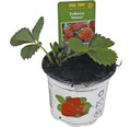 Erdbeere Fragaria x ananassa 'Ostara' Ø 9 cm Topf