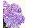 Gartenhortensie, Bauernhortensie FloraSelf Hydrangea intermedia 'Together' H 30-40 cm Co 4,6 L