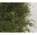 Aufrechter Gartenbambus FloraSelf Fargesia murielae 'Jumbo' H 60-80 cm Co 7,5 L