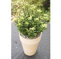Stechpalme FloraSelf Ilex meserveae 'Little Rascal' H 12-15 cm Co 1,5 L
