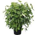 Schneeballhortensie, Strauchhortensie Hydrangea arborescens 'Annabelle' H 80-100 cm Co 15 L