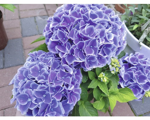 Bauernhortensie Hydrangea macrophylla 'Tivoli Blue' H 30-40 cm Co 5 L