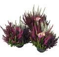 Besenheide, Heidekraut, Knospenheide FloraSelf Calluna vulgaris Beauty Ladies 'High Five' Ø 13 cm Topf