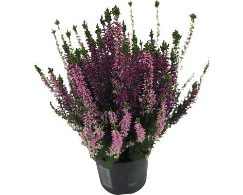 Besenheide, Heidekraut, Knospenheide FloraSelf Calluna vulgaris Beauty Ladies 'Trio' Ø 9,5 cm Topf