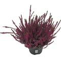 Besenheide, Heidekraut, Knospenheide FloraSelf Calluna vulgaris Beauty Ladies Ø 17 cm Topf