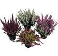 Besenheide, Heidekraut, Knospenheide FloraSelf Calluna vulgaris Beauty Ladies Ø 9,5 cm Topf