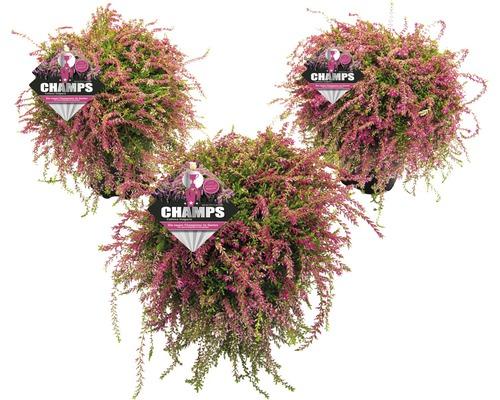 Besenheide, Heidekraut, Knospenheide FloraSelf Calluna vulgaris Beauty Ladies 'Champs' Ø 14 cm Topf