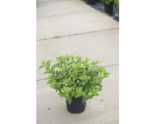Rispenhortensie FloraSelf Hydrangea paniculata 'Mojito' H 50-60 cm Co 6 L