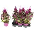 Celosie, Hahnenkamm Pyramide FloraSelf Celosia argentea 'Deep Purple Caracas' Ø 17 cm Topf