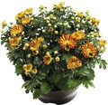 Chrysantheme FloraSelf Chrysanthemum indicum 'Hoi Hoi' Ø 23 cm Topf