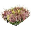 Calluna, Besenheide FloraSelf Calluna vulgaris 'Beauty Ladies SIX MIX' Ø 17 cm Topf versch. Sorten, Farben