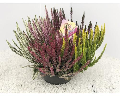 Calluna, Besenheide FloraSelf Calluna vulgaris 'Beauty Ladies High Five' Ø 23 cm Topf versch. Sorten, Farben