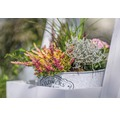 Calluna, Besenheide FloraSelf Calluna vulgaris 'Beauty Ladies' Mini Ø 10,5 cm Topf zufällige Sortenauswahl