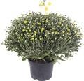 Chrysantheme Chrysanthemum indicum x grandiflorum 'Primo Pistache' Ø 19 cm Topf