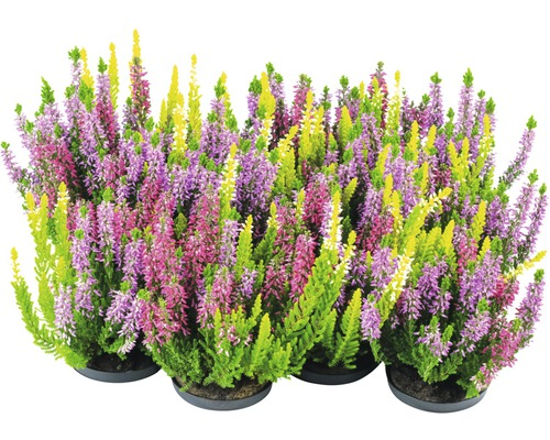 Calluna, Besenheide Trio FloraSelf Calluna vulgaris 'Beauty Ladies' Ø 11 cm Topf versch. Sorten und Farben