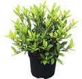 Echter Lorbeer FloraSelf Laurus nobilis 'Little Ragu' ® Sweet Bay H 30-40 cm Co 4,5 L