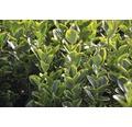 Spindelstrauch FloraSelf Euonymus japonicus 'Aureus' H 25-30 cm Co 6 L