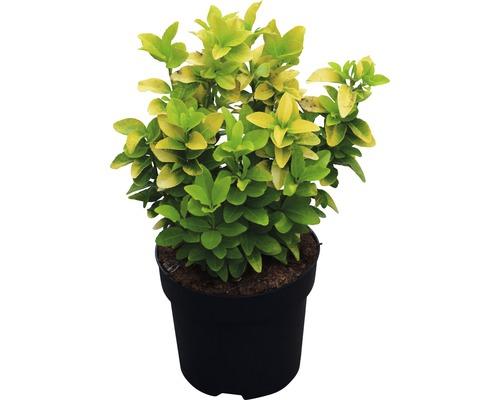 Spindelstrauch 'Eldorado' FloraSelf Euonymus japonicus 'El Dorado' ® H 25-30 cm Co 6 L