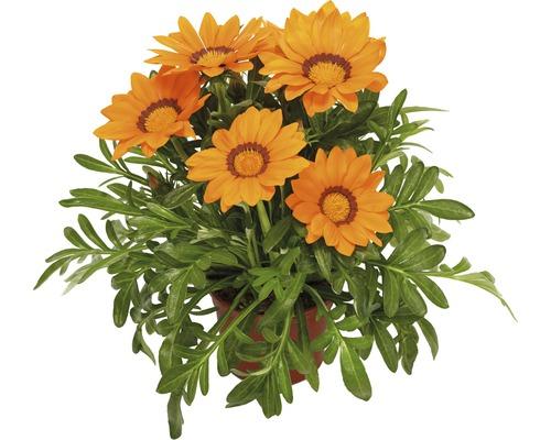 Halbstrauch-Gazanie, Mittagsgold FloraSelf Gazania splendens Ø 10,5 cm Topf