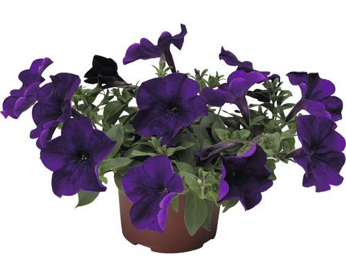 Hängepetunie FloraSelf Petunia x atkinsiana Ø 10,5 cm Topf