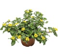 Husarenknopf FloraSelf Sanvitalia procumbens Ø 10,5 cm Topf