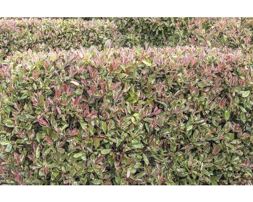 Weißgrüne Glanzmispel FloraSelf Photinia fraseri 'Pink Marble' H 100-125 cm Co 15 L