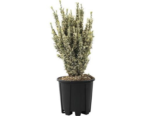 Spindelstrauch FloraSelf Euonymus 'White Spire' H 40-60 cm Co 9 L