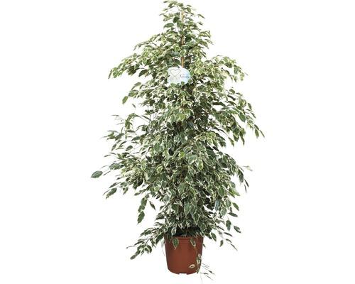 Birkenfeige, Benjamin-Feige FloraSelf Ficus benjamnia 'Twilight' H 120-150 cm Ø 27 cm Topf