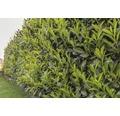 35 x Kirschlorbeer, Lorbeerkirsche Prunus laurocerasus 'Caucasica' H 60-80 cm ClickCo für ca. 12 m Hecke