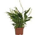 Einblatt FloraSelf Spathiphyllum H 25-30 cm Ø 10,5 cm Topf versch. Sorten