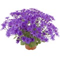 Aschenblume FloraSelf Senecio senetti Ø 18 cm Topf